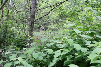Expansion of Japanese Knotweed