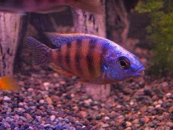 My Aquarium Setup: Steveni Taiwanese Cichlid (male)