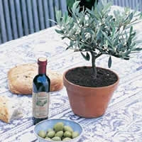 A Comprehensive Guide in Growing An Olive Tree