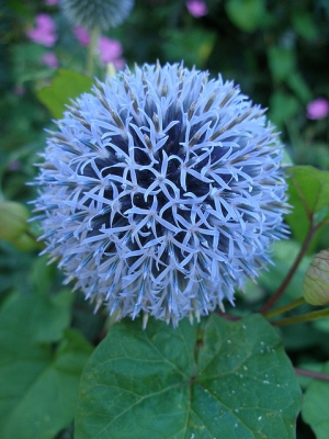 Blue Ball Flower