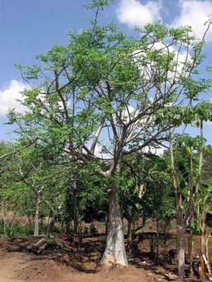 Ethiopia - Mature Moringa stenopetala tree - March 2011