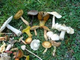 Poisonous Mushrooms and Your Dog